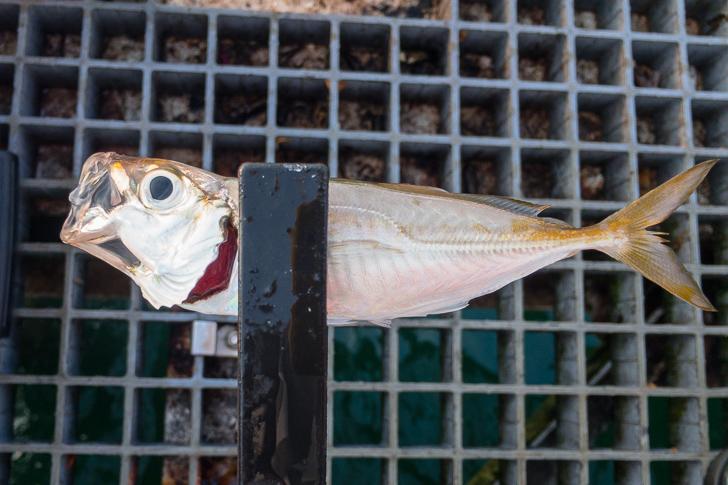 豊浜漁港釣り桟橋で五目釣り!アジ・タチウオ釣れています